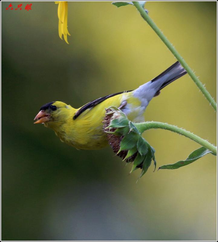 六只眼:向日葵与金翅雀_图1-8