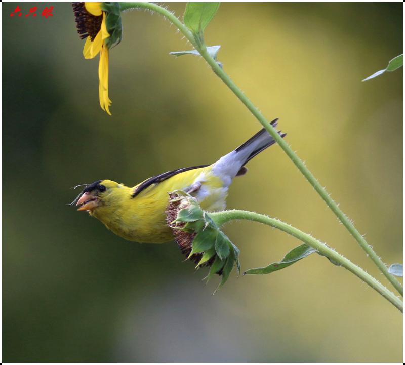 六只眼:向日葵与金翅雀_图1-5