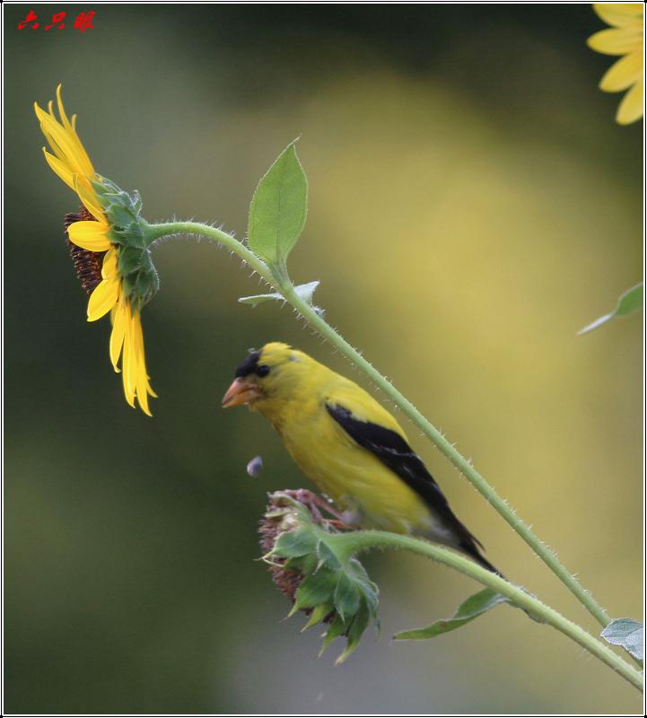 六只眼:向日葵与金翅雀_图1-10