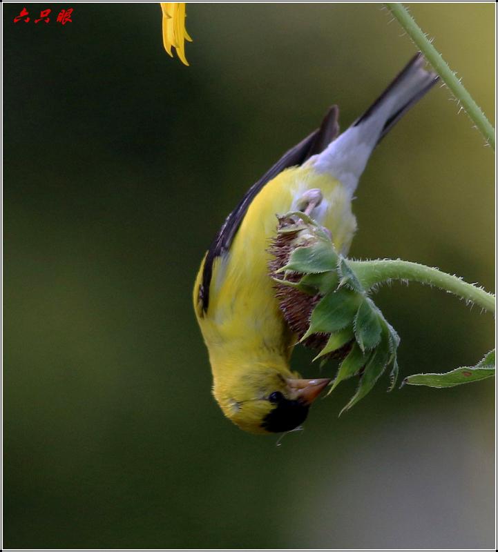 六只眼:向日葵与金翅雀_图1-12