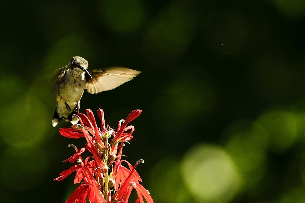 令我兴奋的邂逅【蜂鸟】