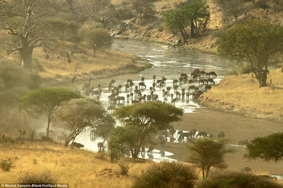 温顺象群为争水源驱赶500头水牛场面壮观_图1-1