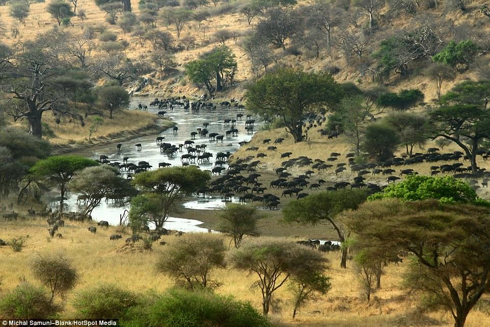 温顺象群为争水源驱赶500头水牛场面壮观_图1-3