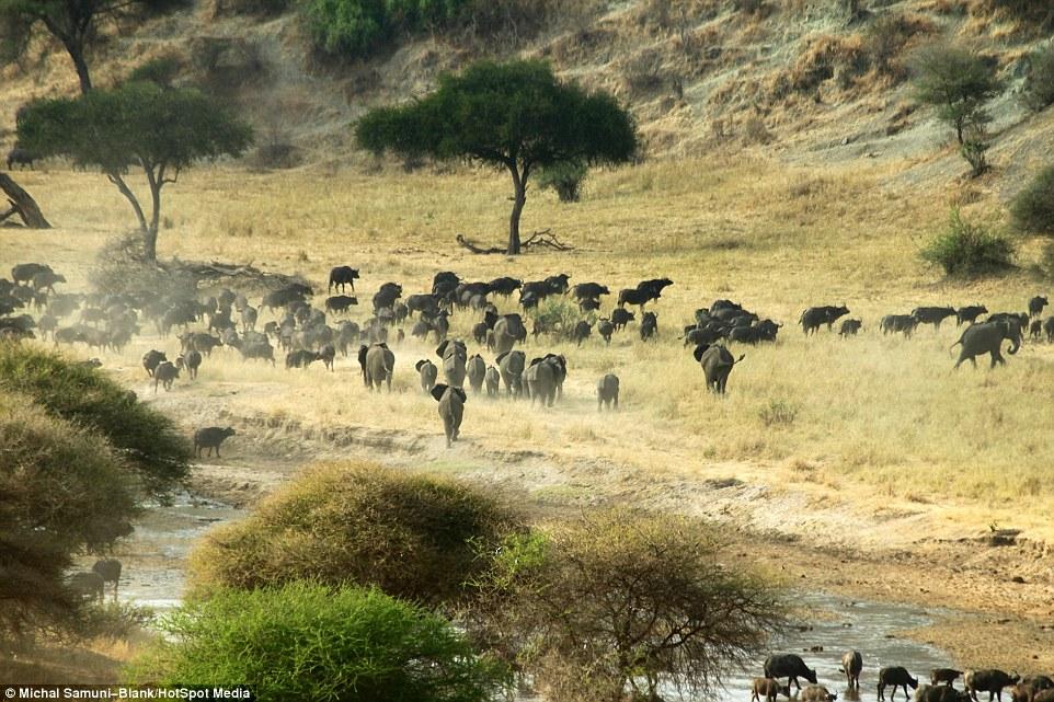 温顺象群为争水源驱赶500头水牛场面壮观_图1-4