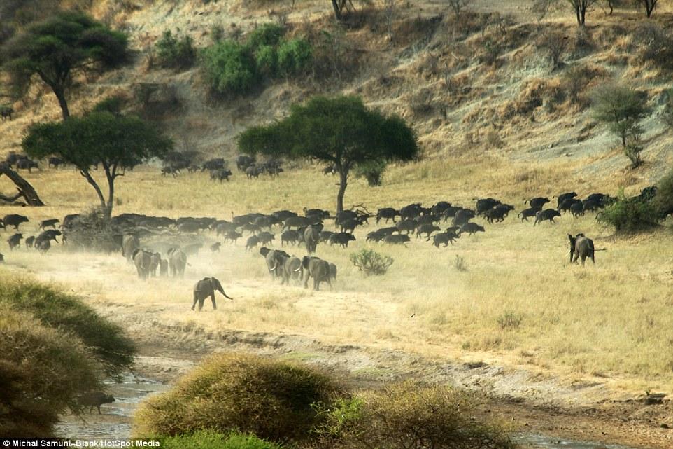 温顺象群为争水源驱赶500头水牛场面壮观_图1-5