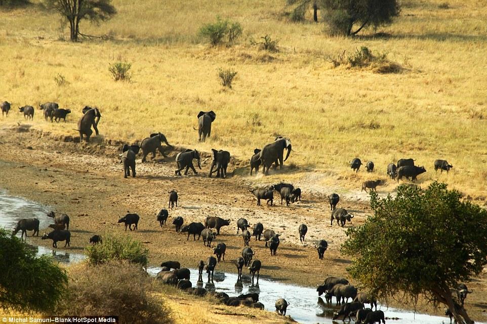 温顺象群为争水源驱赶500头水牛场面壮观_图1-6