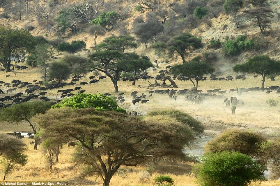 温顺象群为争水源驱赶500头水牛场面壮观_图1-7