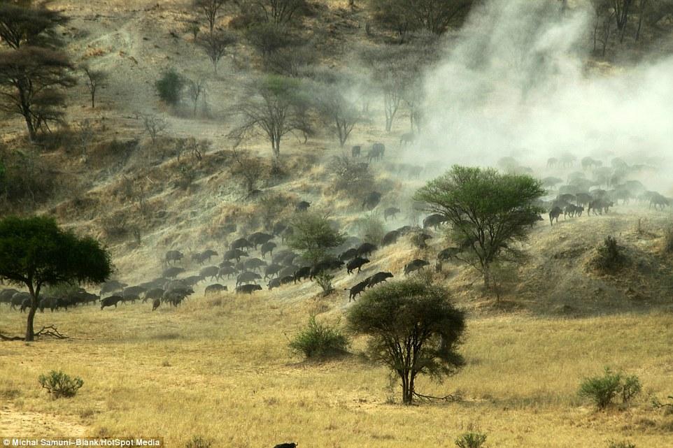 温顺象群为争水源驱赶500头水牛场面壮观_图1-8