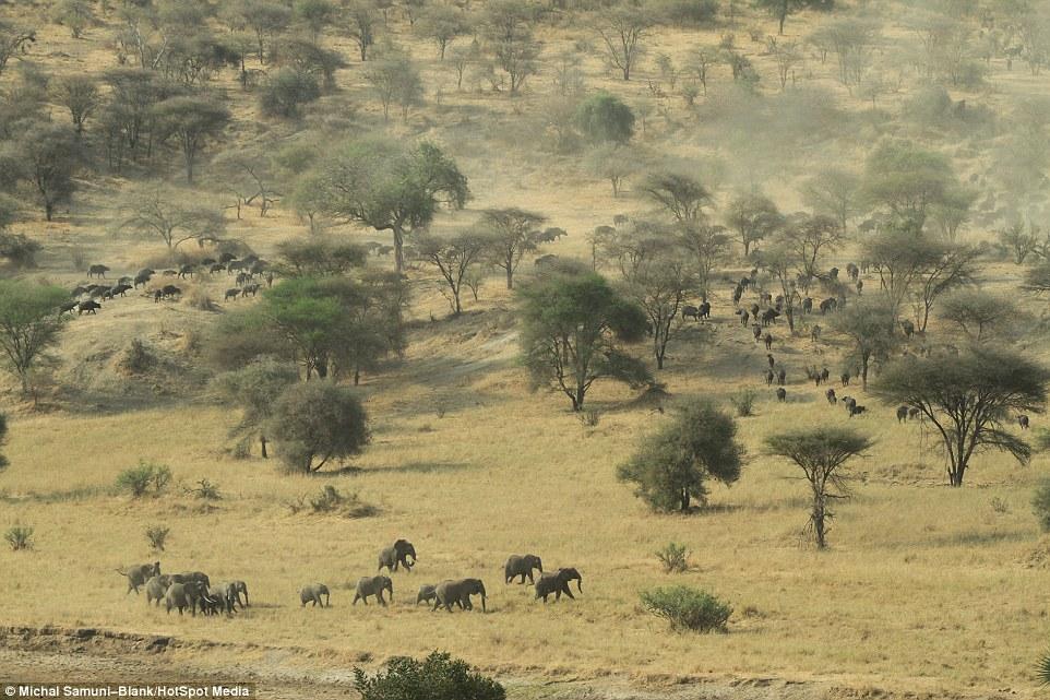温顺象群为争水源驱赶500头水牛场面壮观_图1-10