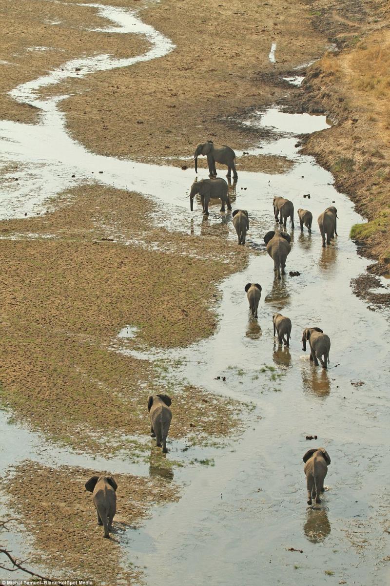 温顺象群为争水源驱赶500头水牛场面壮观_图1-13