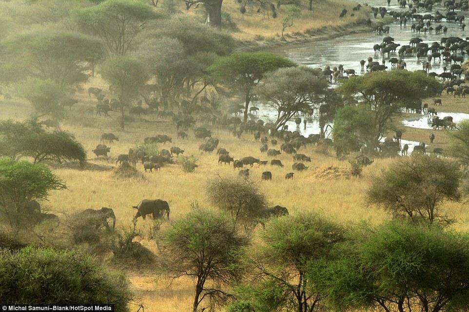 温顺象群为争水源驱赶500头水牛场面壮观_图1-12