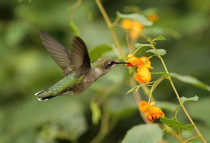 分享-这几种花都是蜂鸟喜欢吃