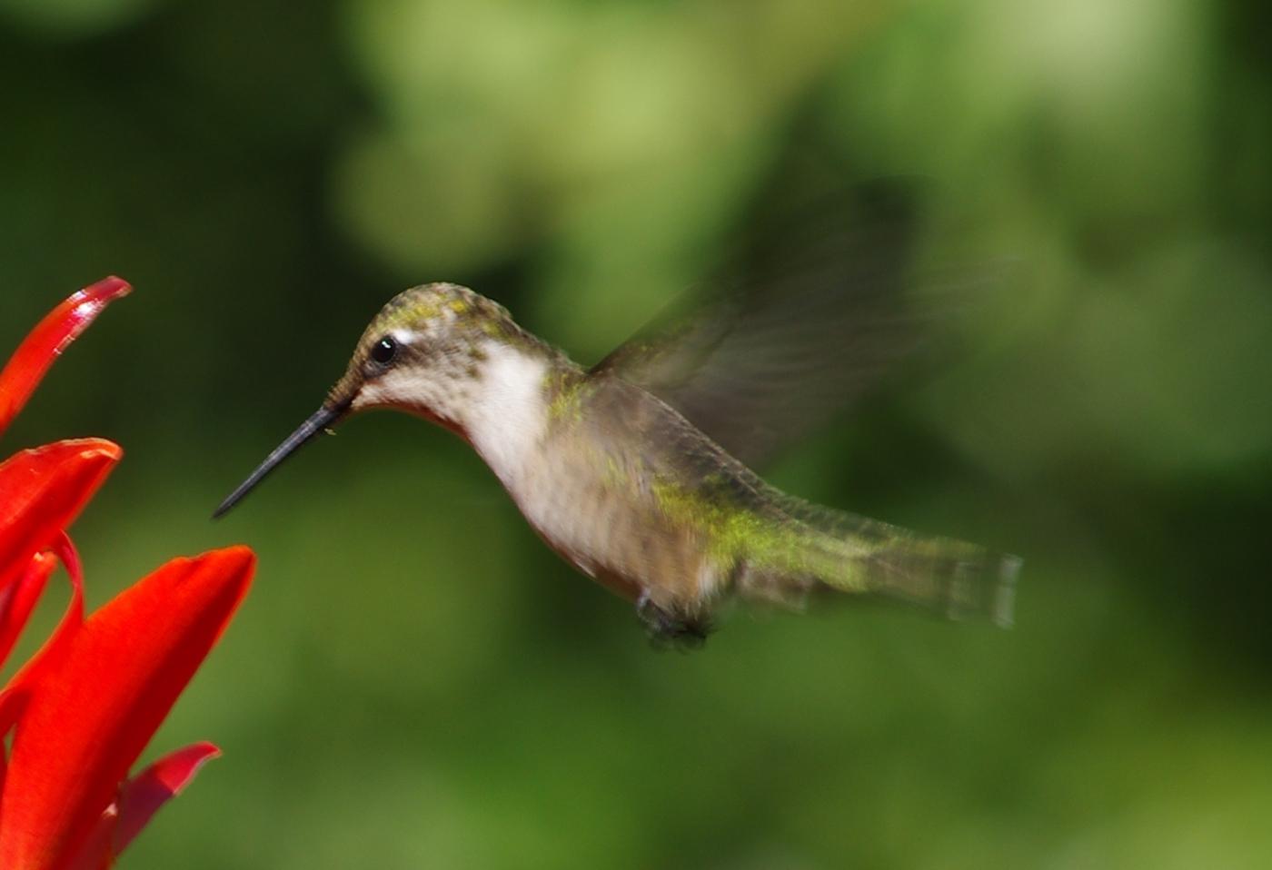 抢縛蜂鸟 --  克隆小鸟