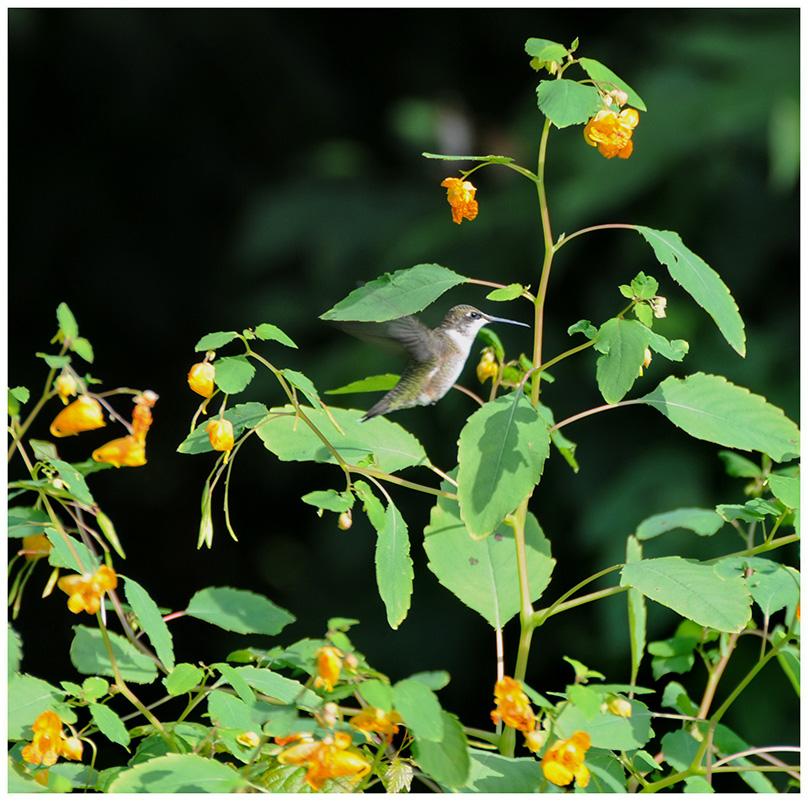 鸟家族的小不点-蜂鸟
