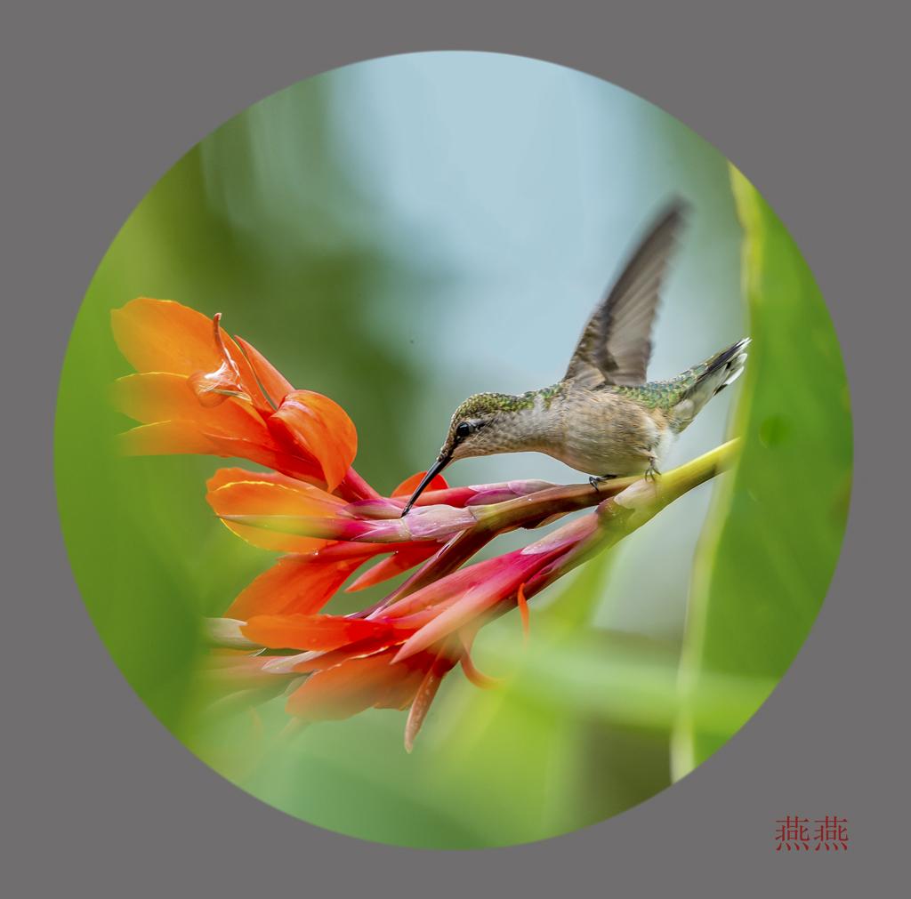可爱的蜂鸟