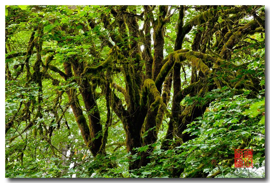 《酒一船》摄影:奥林匹克国家公园的温带雨林_图1-1