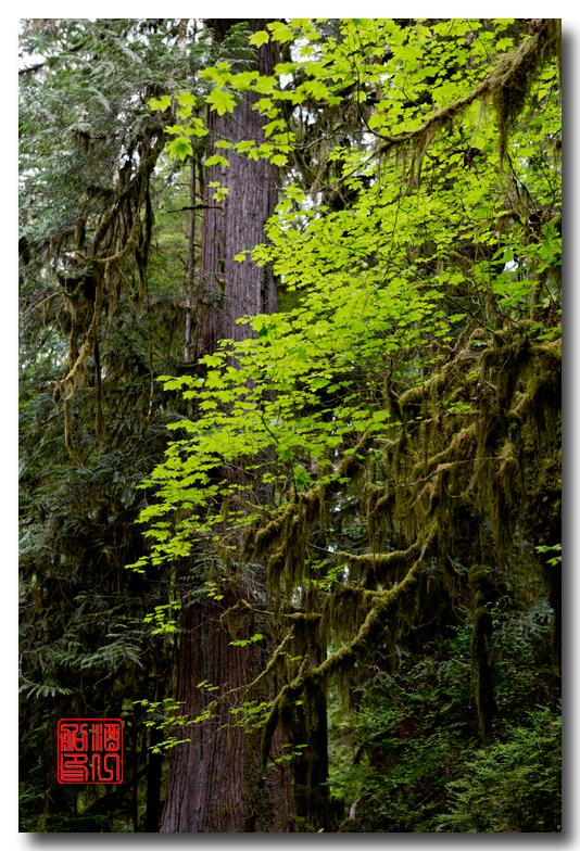 《酒一船》摄影:奥林匹克国家公园的温带雨林_图1-8
