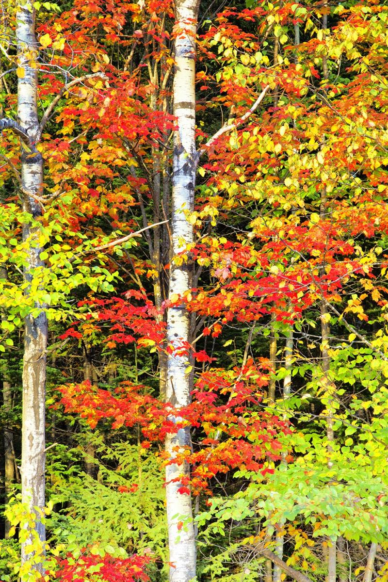 秋天的枫叶2_图1-4