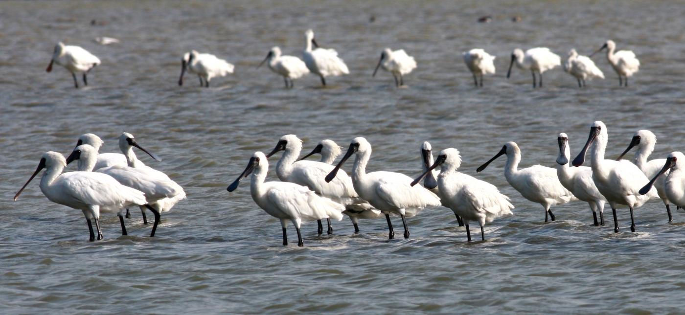 湿地旅者——黑面琵鹭_图1-8