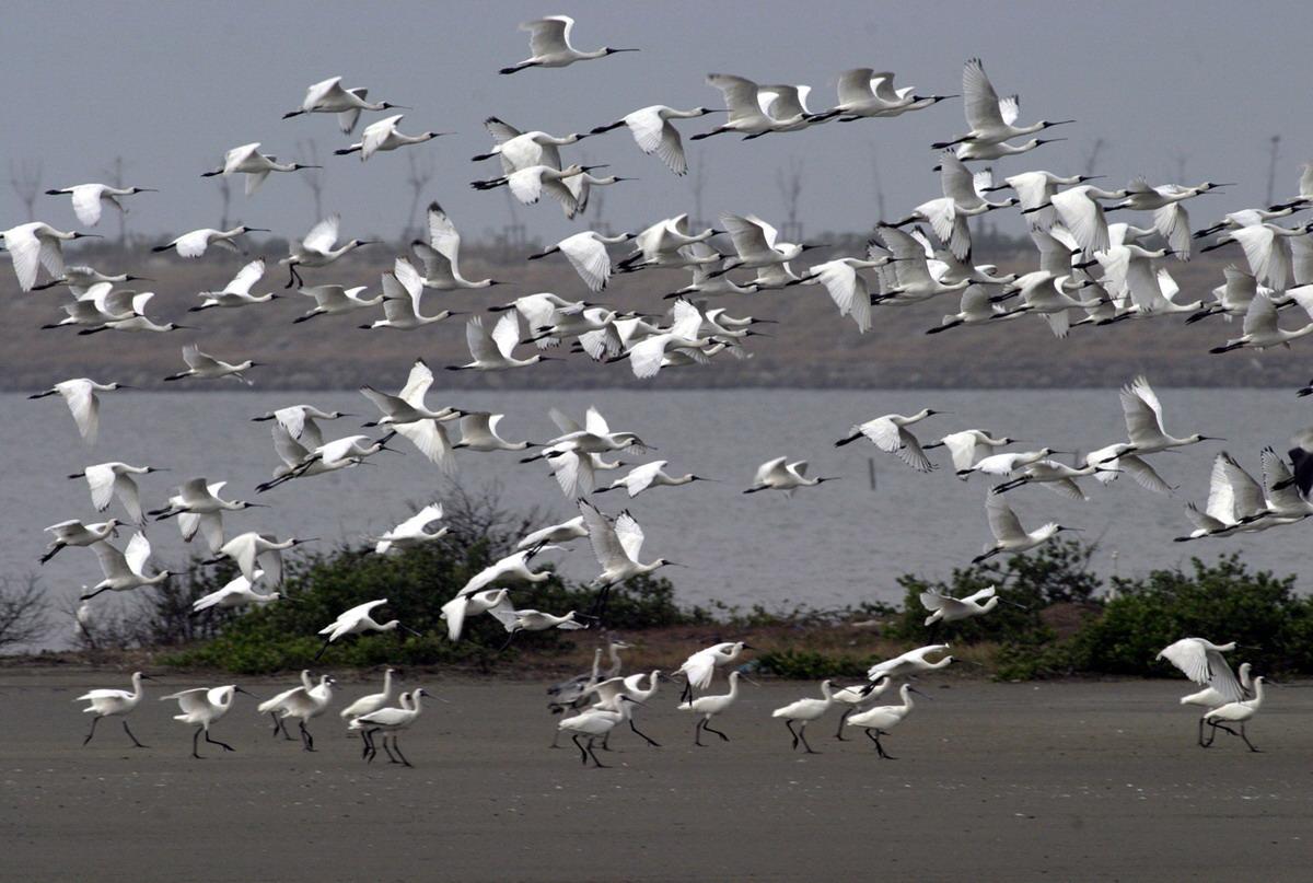 湿地旅者——黑面琵鹭_图1-11