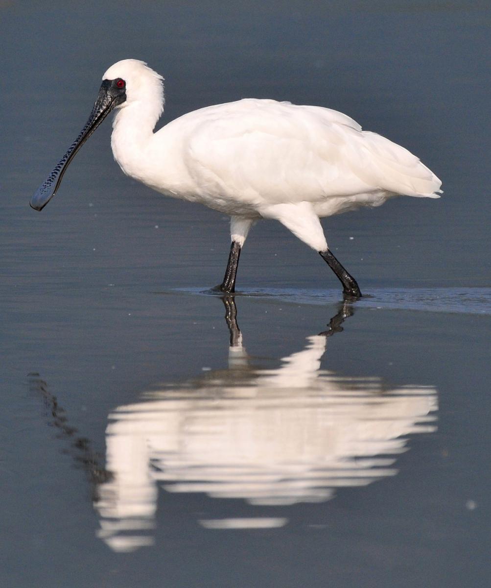 湿地旅者——黑面琵鹭_图1-2