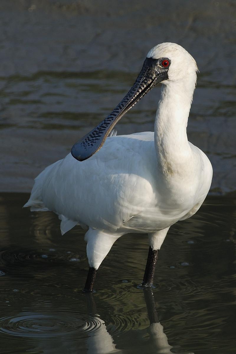 湿地旅者——黑面琵鹭_图1-1