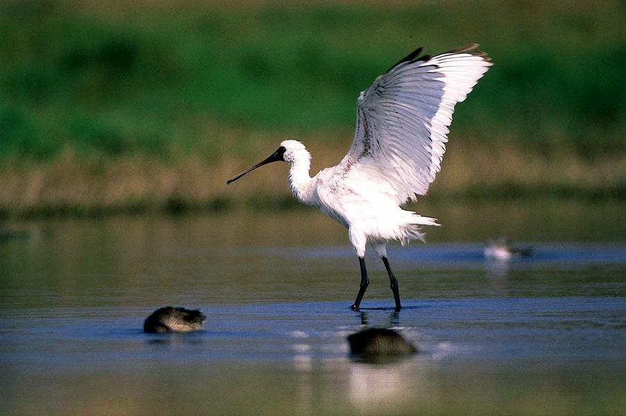 湿地旅者——黑面琵鹭_图1-3