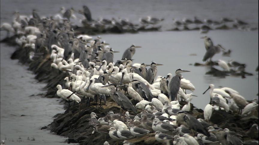 湿地旅者——黑面琵鹭_图1-7