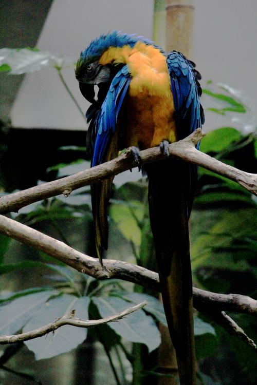 蓝黄金刚鹦鹉——摄于纽约中央公园动物园_图1-1