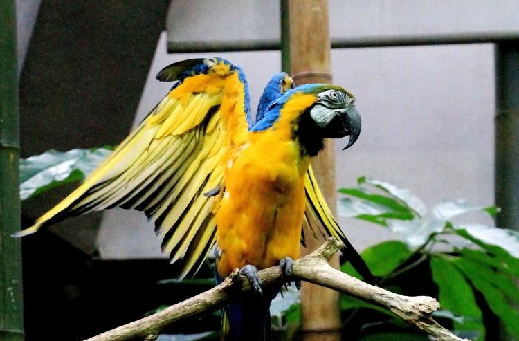 蓝黄金刚鹦鹉——摄于纽约中央公园动物园_图1-3