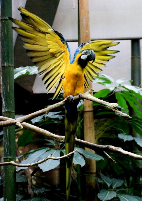 蓝黄金刚鹦鹉——摄于纽约中央公园动物园_图1-4