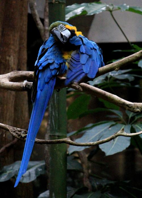 蓝黄金刚鹦鹉——摄于纽约中央公园动物园_图1-5