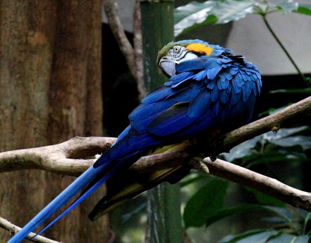 蓝黄金刚鹦鹉——摄于纽约中央公园动物园_图1-7