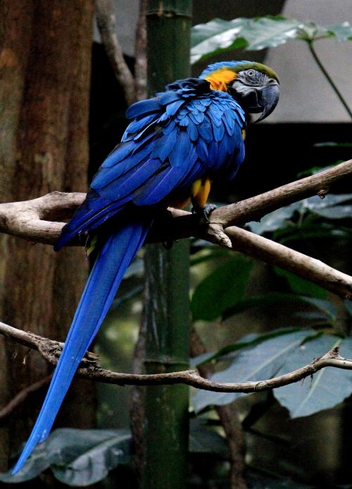 蓝黄金刚鹦鹉——摄于纽约中央公园动物园_图1-6
