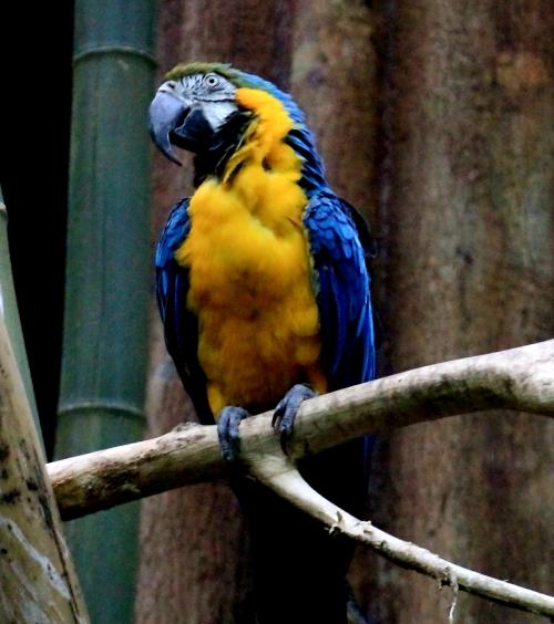 蓝黄金刚鹦鹉——摄于纽约中央公园动物园_图1-8