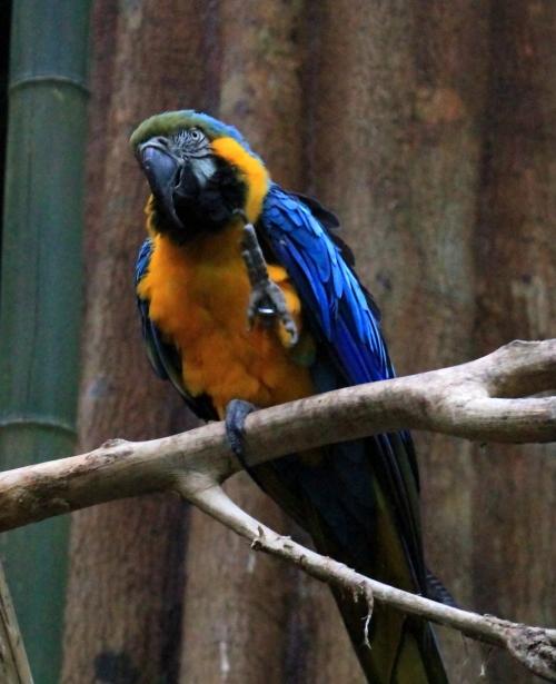 蓝黄金刚鹦鹉——摄于纽约中央公园动物园_图1-9