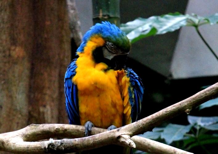 蓝黄金刚鹦鹉——摄于纽约中央公园动物园_图1-11