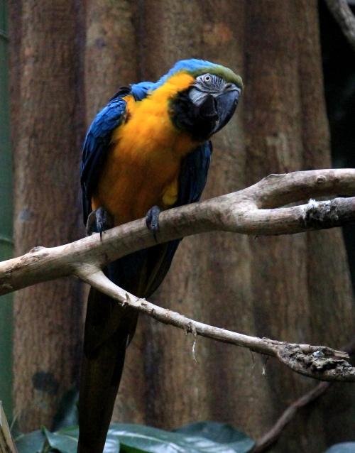 蓝黄金刚鹦鹉——摄于纽约中央公园动物园_图1-10