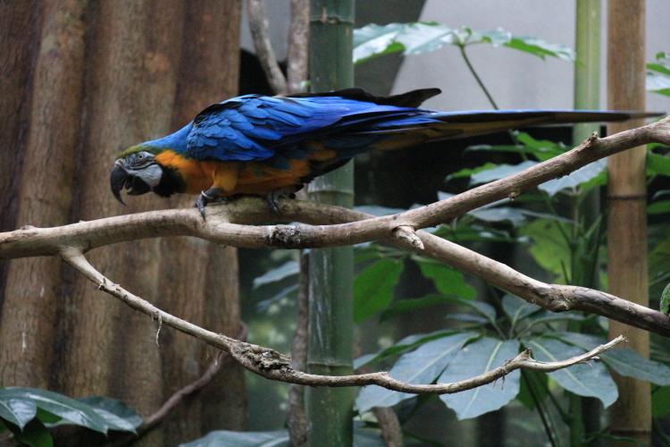 蓝黄金刚鹦鹉——摄于纽约中央公园动物园_图1-12