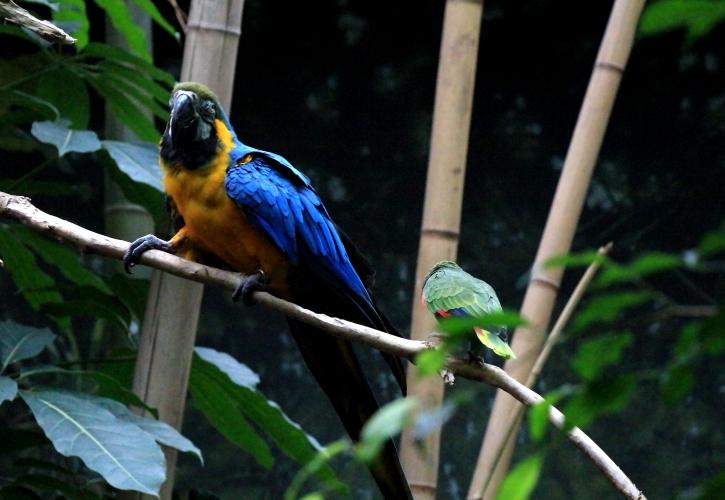 蓝黄金刚鹦鹉——摄于纽约中央公园动物园_图1-14