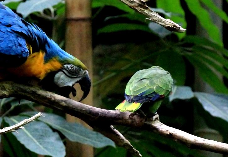 蓝黄金刚鹦鹉——摄于纽约中央公园动物园_图1-13