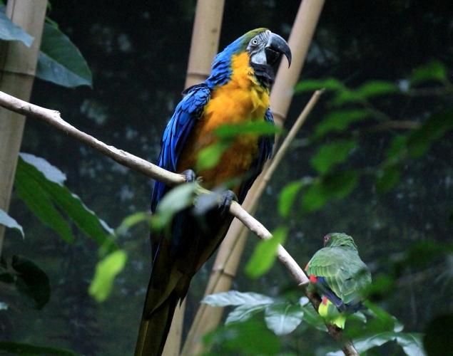 蓝黄金刚鹦鹉——摄于纽约中央公园动物园_图1-16