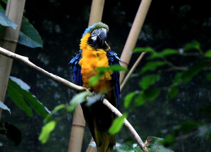蓝黄金刚鹦鹉——摄于纽约中央公园动物园_图1-15