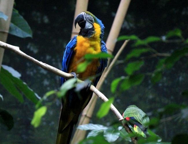 蓝黄金刚鹦鹉——摄于纽约中央公园动物园_图1-18