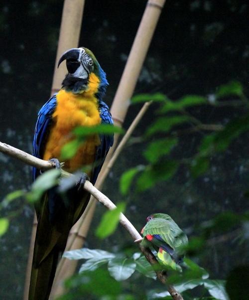 蓝黄金刚鹦鹉——摄于纽约中央公园动物园_图1-17