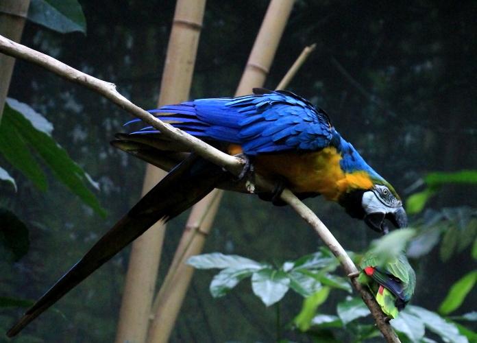 蓝黄金刚鹦鹉——摄于纽约中央公园动物园_图1-19