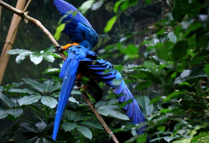 蓝黄金刚鹦鹉——摄于纽约中央公园动物园_图1-20