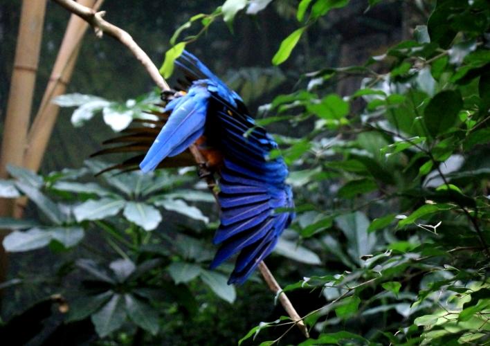 蓝黄金刚鹦鹉——摄于纽约中央公园动物园_图1-21