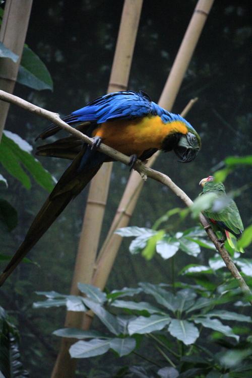 蓝黄金刚鹦鹉——摄于纽约中央公园动物园_图1-22