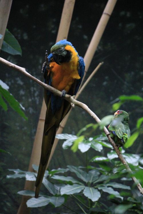 蓝黄金刚鹦鹉——摄于纽约中央公园动物园_图1-23